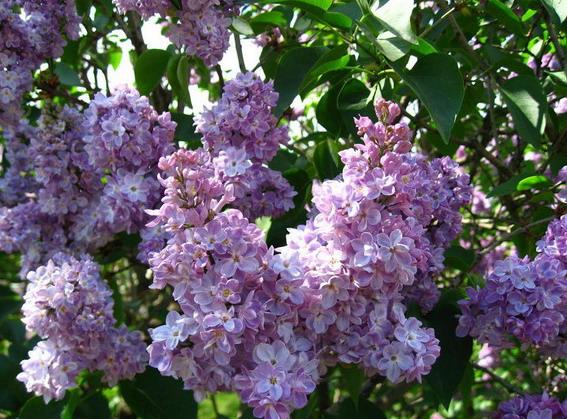 В ботаническом саду на Печерске цветет сирень