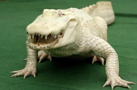 Аллигатор-альбинос