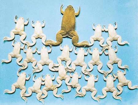 Лягушки-альбиносы