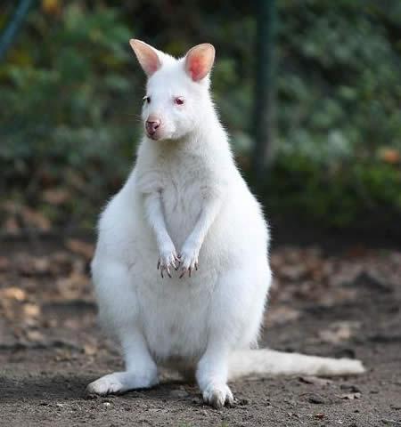 Кенгуру-альбинос