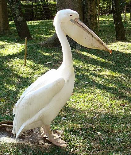 Пеликан-альбинос