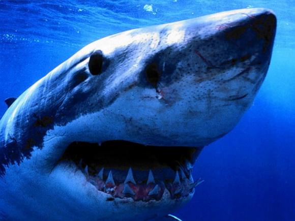 Акула людоед