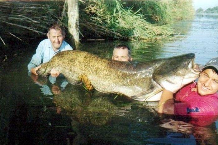 Некоторые рыбки такие огромные, что я даже не представляюФото больших животных, рыб и ростений (66 фото)  Фото больших животных, рыб и ростений (66 фото)  Смотреть Фото приколы: Фото больших животных, рыб иВ данной фото подбрке присутствуют : большие рыбы...