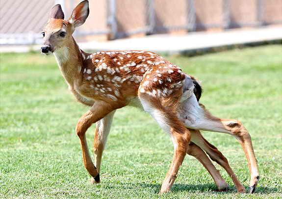 6-ти ногий олененок
