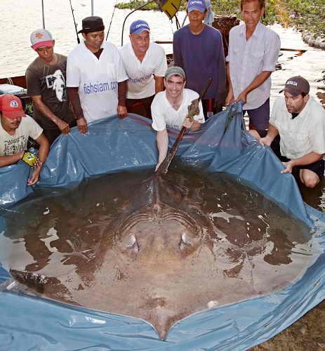 Гигантский 350 кг скат
