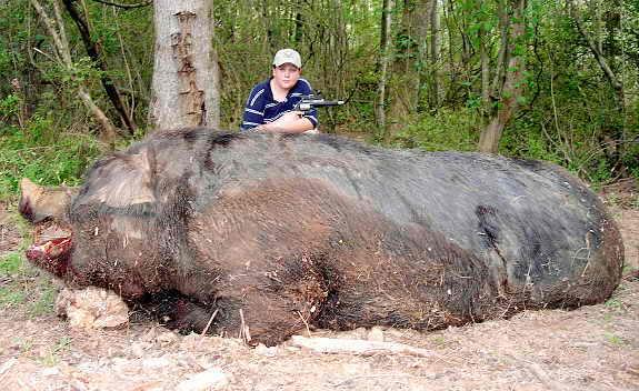 почти 500 кг дикий кабан