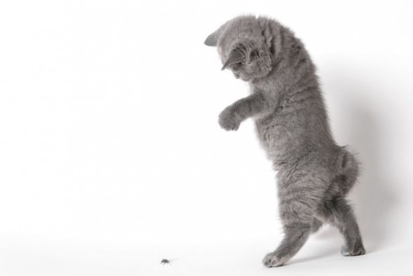 Котенок нападает на муху