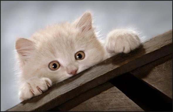 Кот оценивает высоту
