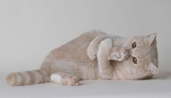 Кот лижет заднюю ногу