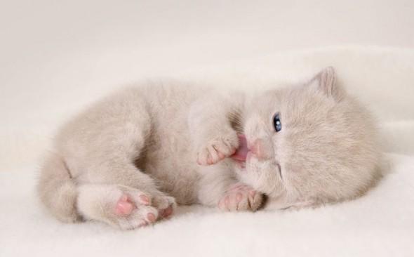 У котов вылизывание заложено с младенчества