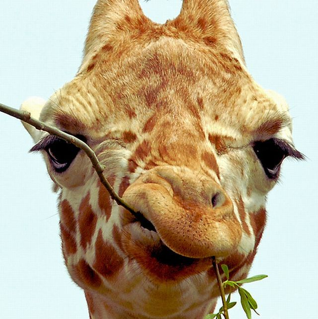 Жираф с веткой во рту