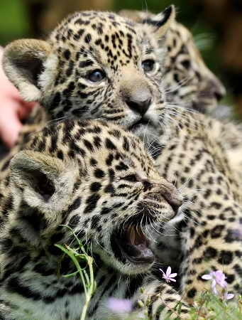 Маленькие ягуары Джуманес и Вальдивия