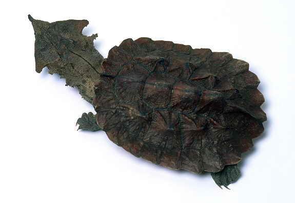 Черепаха мата-мата