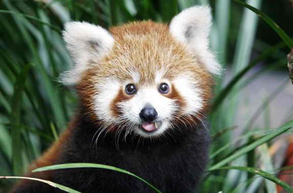4-месячная красная панда Пемба