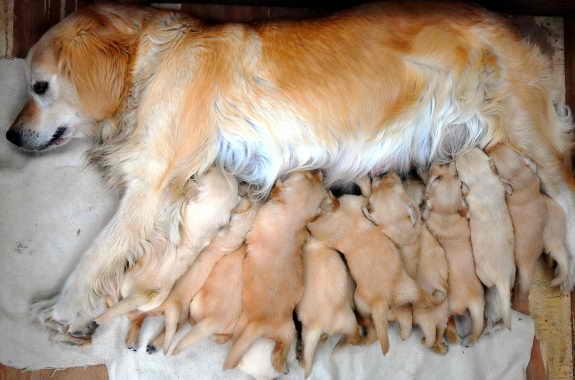 15 щенков, рожденных одновременно
