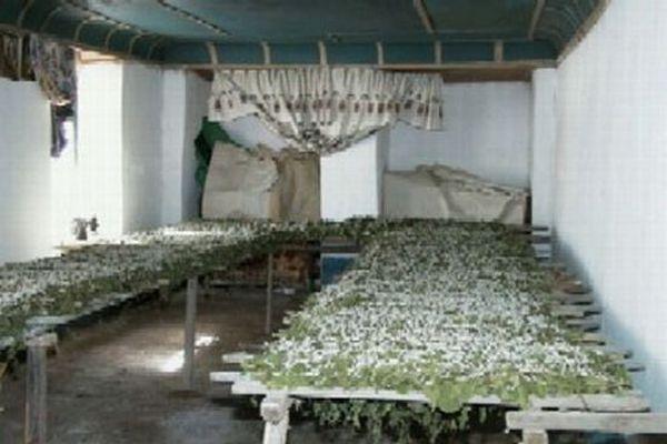 Выращивание тутового шелкопряда в россии 4