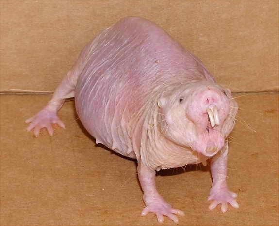 Лысый крыса-крот