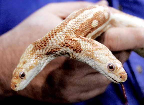 2-х головая змея альбинос