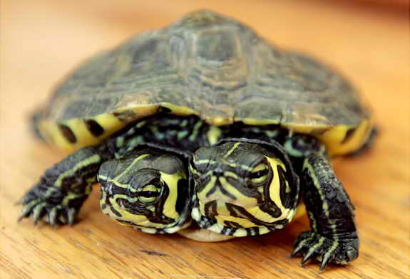 2-х головая черепаха