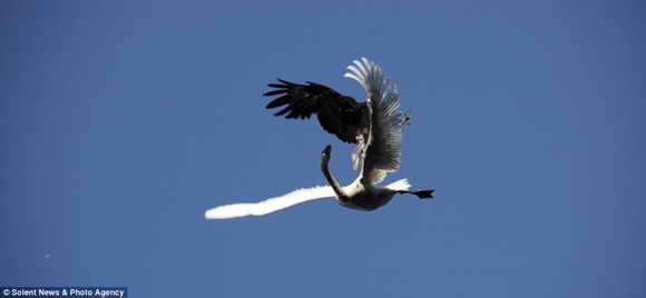 Орел бросается на лебедя