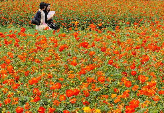 Женщины гуляют в парке Хамарикью в Токио, где цветут космеи