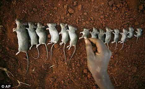 Деликатес - мыши Капуку
