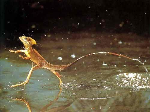 Бегущая по воде ящерица