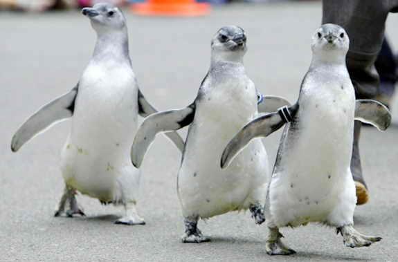 """В зоопарке Сан Франциско прошел """"Марш Пингвинов"""""""