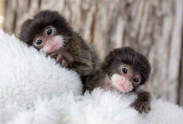 осиротевшие обезьянки