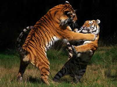 Бой тигров