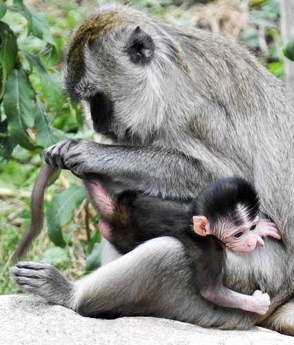 Обезьяна-мать ухаживает за своим малышом