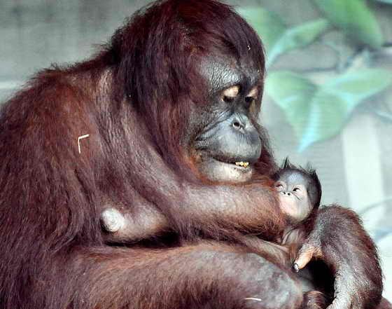 Орангутан Даса обзавелась потомством в зоопарке Ери в Пеннсильвании. Малышу никак не могут придумать имя