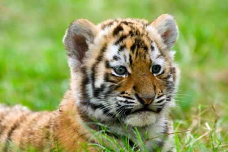 Тигр малыш