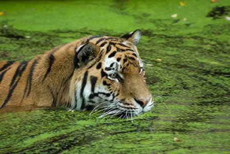 Плавающий тигр