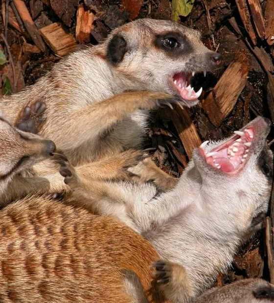 зевающие животные