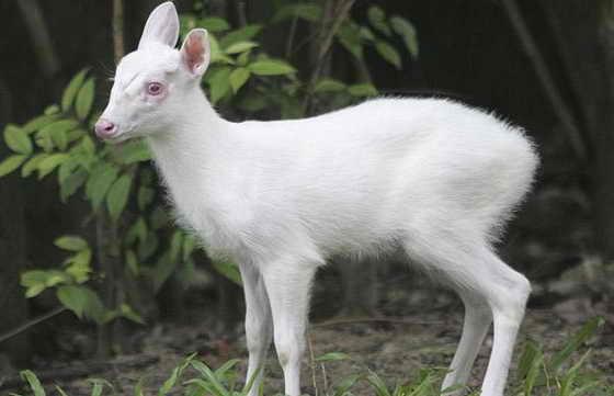 Трехмесячный мунтжак-альбинос по клике Mok (Мок) живет в зоопарке Dusit Zoo в Бангкоке, столице Таиланда