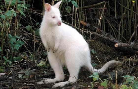 Кенгуру Беннетта-альбинос живет в Зоопарке Ruegen в Германии