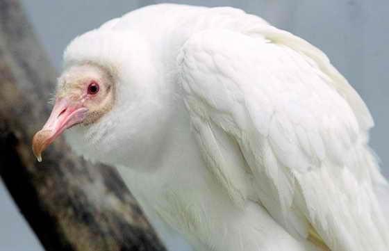 Единственный из мзвестных в мире чёрный гриф-альбинос сидит на жердочке в Заповеднике птиц в Сэнт Луис, Миссури