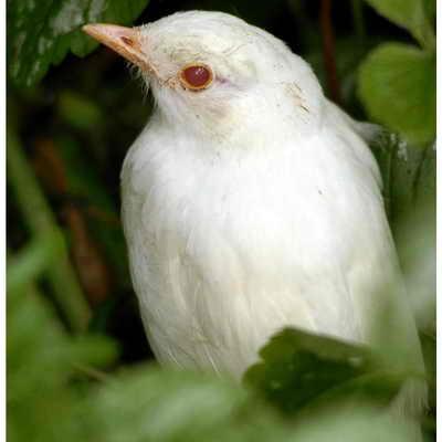 Черный дрозд-альбинос, живущий в дикой природе Коммонмура, четко дает понять, что очень часто у альбиносов красные глаза. Это происходит из-за отсутствия пигмента даже в глазах