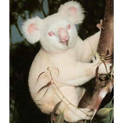 """Коала-альбинос живет с зоопарке Сан Диего. Ее имя -  Onya-Birri, что в переводе с языка австралийских аборигенов означает """"Мальчик-привидение"""""""