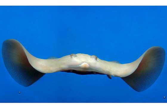 Рыбаки, поймав первого известного в мире ската-альбиноса в Британских водах, были ошеломлены находкой и передали рыбу в в местный аквариум, где необычного ската назвали Gamma Ray (Гамма-лучи)
