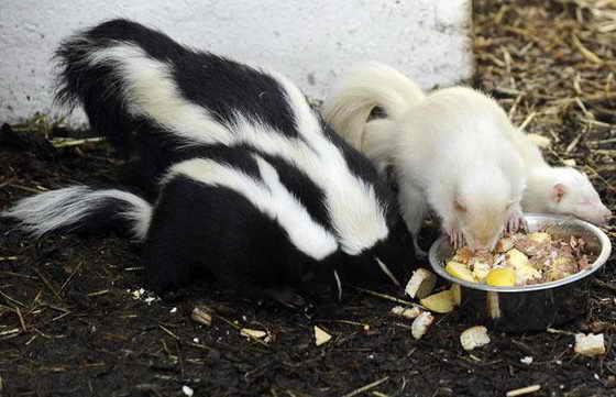 Из четырех родившихся альбиносов в Заповеднике Knoxwood Wildlife Rescue Centre двое оказались альбиносами, без своей известной черно-белой шерсти