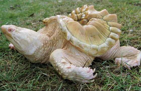 В зоопарке Clinch Park в штате Мичиган живет каймановая черепаха-альбинос, у которой к тому же были проблемы с пищеварительным трактом, поэтому ее панцирь не развился как следует