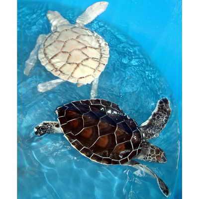 В мексике в национальном аквариуме живет черепаха-альбинос