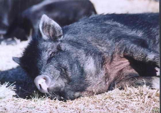 Оргазм у свиней длиться 30 минут