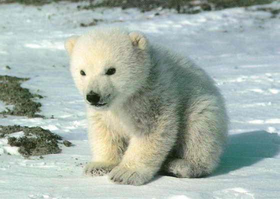 Все северные медведи - левши
