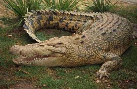 Крокодилы не мог высунуть язык