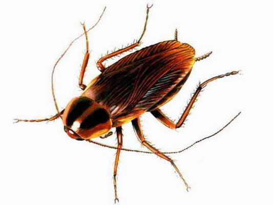 Таракан может жить без головы 9 дней, а умирает только из-за того, что не может есть
