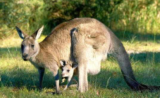 Когда английские поселенцы прибыли в Австралию и  увидели странное животное, прыгающее высоко и далеко, то спросили у аборигенов на языке жестов, что это за животное. Аборигены ответили: «Кан Гу Ру!», англичане адоптировали название в «кенгуру». На самом деле аборигены пытались сказать: «Мы не понимаем вас!»