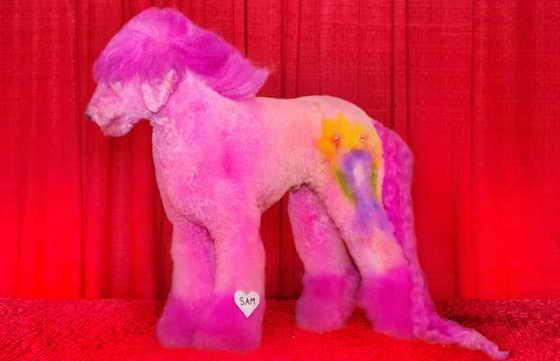 """'Sam' был подготовленн Justine Cosley, стрижка называется 'My Little Pony """" и он стал победителем Чемпионом Мира победила чемпиона мира на последнем Groom Expo"""